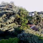 Zajímavé stromy světa –  Cedr