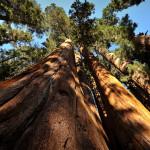 Nejvyšší a nejmohutnější stromy světa
