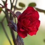 Připravte růže na zimu