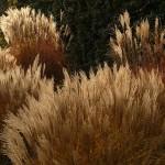 Pěstování a údržba okrasných rostlin 3 – trávy a bambusy