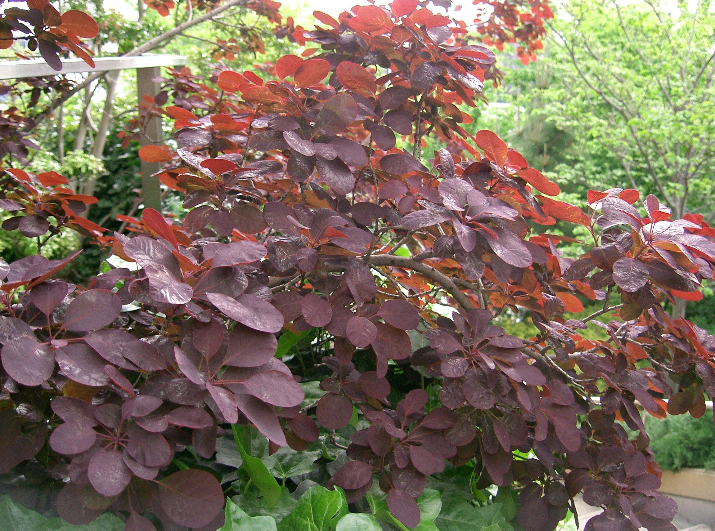 Ruj obecná (Cotinus coggygria ´Royal Purple')
