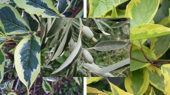 Dřeviny s atraktivní barvou listů 2. část – se žlutým a stříbřitě bílým listem