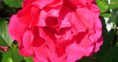 Pnoucí růže patří k nejkrásnějších dřevinám vnašich zahradách