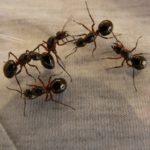 Teplé počasí prospívá mravencům, zbavte se doma jejich kolonií