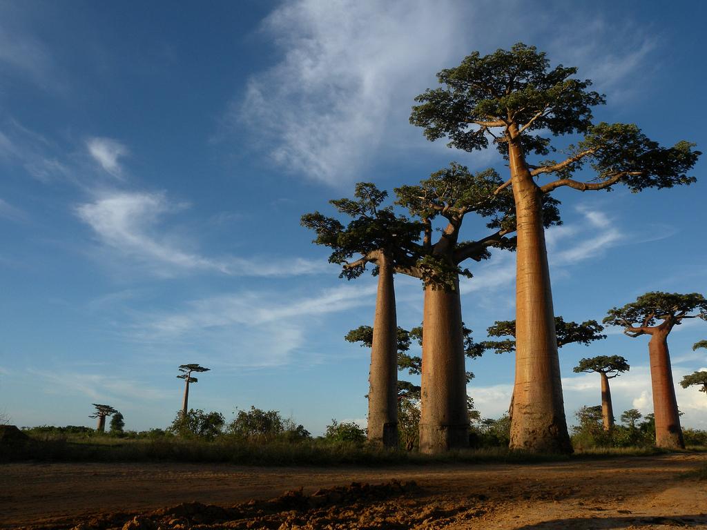 Baobab - foto: Frank Vassen