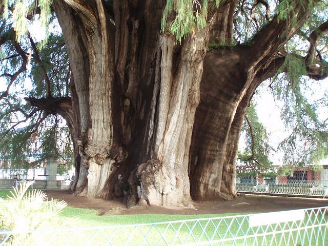 kmen Tulského stromu - foto:  David Holt