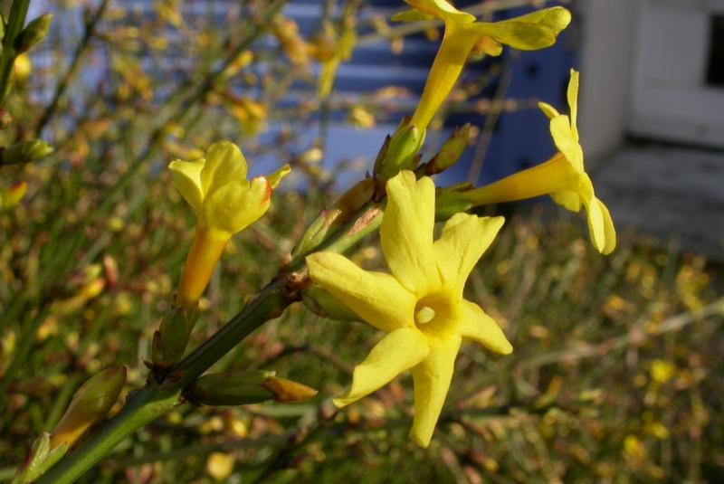 Jasminum nidiflorum ( foto: Jean-Jacques MILAN )