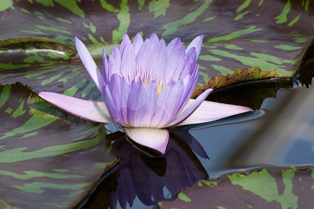 water-lily-454716_640