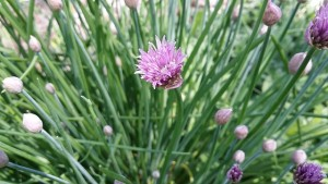 chives-774192_640