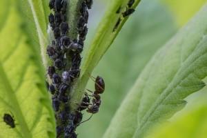 Mšice na listu okrasné rostliny