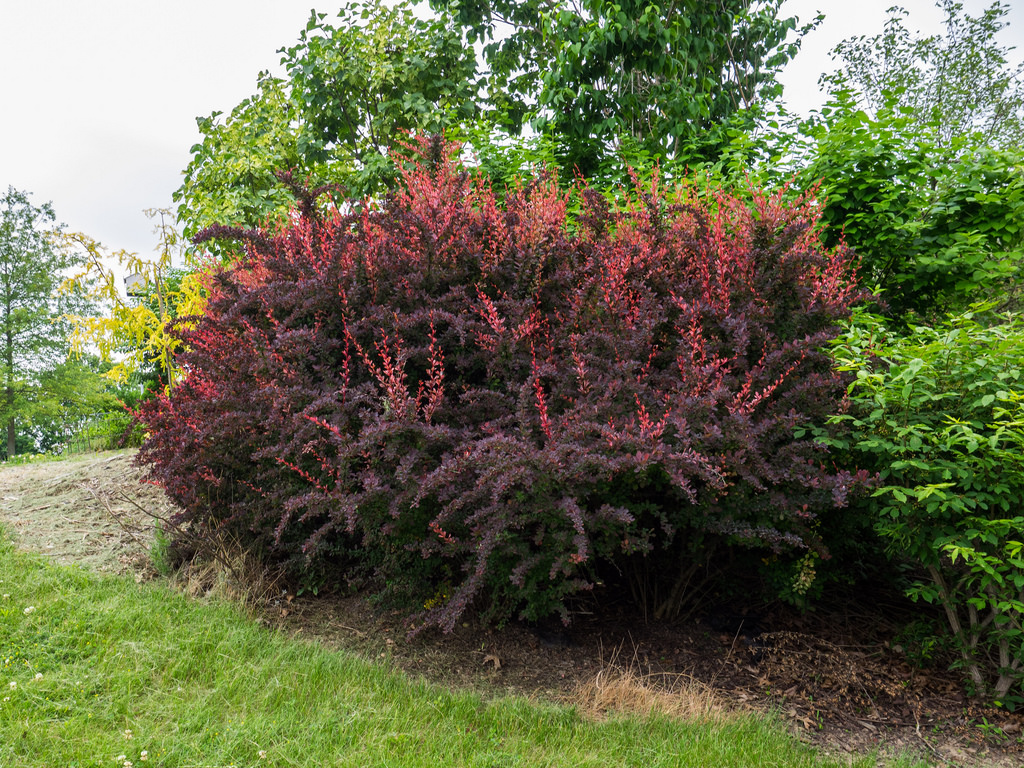 Dřišťál Thunbergův červenolistý (Berberis thunbergii 'Atropurpurea')
